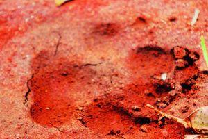 Onças amedrontam produtores rurais em Cascavel